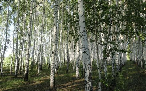 Birch Tree Wallpaper Wallpapersafari