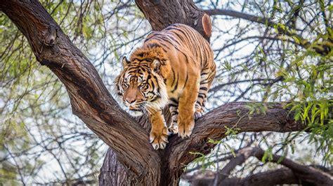 tiger animals wildlife trees wallpapers hd desktop