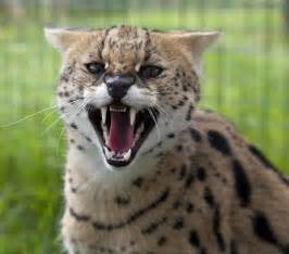 serval cat serval cat pictures images
