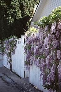 How Do You Get Wisteria To Grow On A Solid Fence Without A