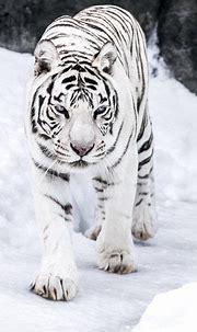 White tiger on the snow   Wild cats, Albino animals ...