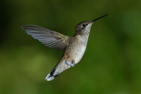what different types of hummingbirds live in ohio