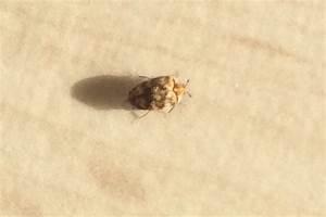 Insecte De Maison : anthrenus verbasci identification d 39 un insecte dans une ~ Melissatoandfro.com Idées de Décoration
