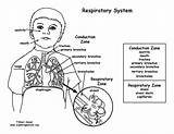 Respiratory System Coloring Pages Endocrine Diagram Unlabelled Pdf Anatomy Digestive Middle Library Clipart Unlabeled Sponsors Wonderful Support Please Labeled Popular sketch template