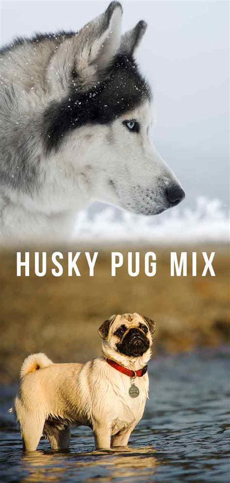 For areas moving down levels, people will be allowed to meet indoors again, initially in groups of up to six from up to three households and they will be allowed to hug. Husky Pug Mix: Introducing the Hug!