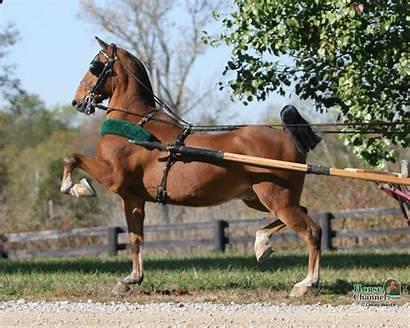 Hackney Horse Pony Horses Cavalli Animals Wallpapers