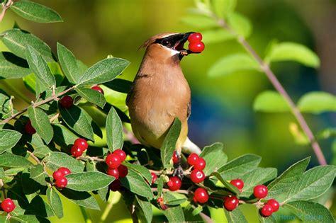 Cedar Waxwing Birds Of Pennsylvania