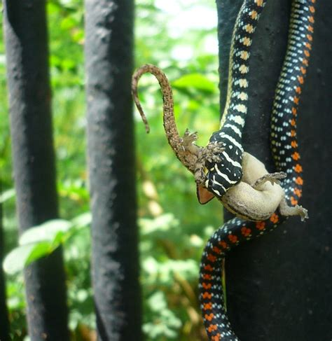 paradise tree snake chrysopelea paradisi mildly