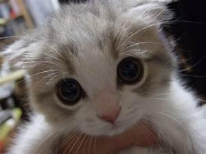 Scottish Fold Kittens | Kitten And Puppy