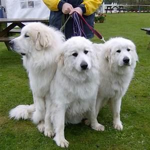 Giant White Fluffy Dog Justjess Ig Big Dogs - Litle Pups