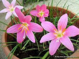 Image result for pictures of a garden with  tiger lilies and rain lilies in bloom