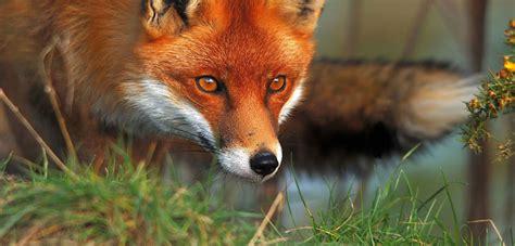 European fox - PestSmart Connect