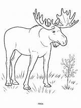 Elk Coloring Ausmalbilder Animals Elch Ausdrucken Malvorlagen Kostenlos Zum sketch template