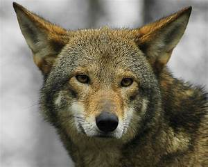 Fantastica Animal: The Red Wolf