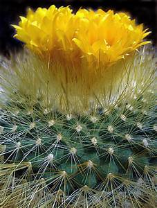 Yellow cactus flower, Mojave desert. | Photographs by Jana ...
