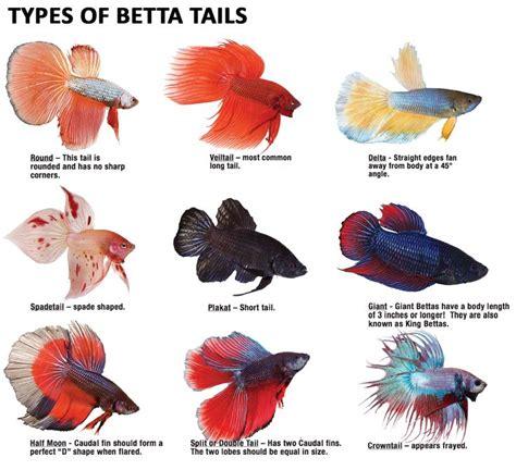 bettas   great variety   tail type betta