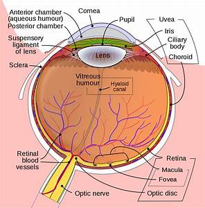 File Schematic Diagram Of The Human Eye En Svg