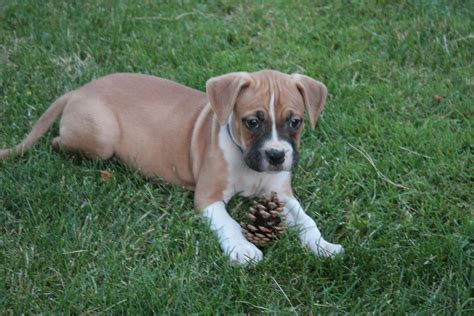 Boxer Breed Dog Forums