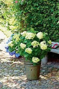 Hortensien überwintern Im Garten : hortensien sicher durch den winter bringen mit dem know how von floragard ~ Frokenaadalensverden.com Haus und Dekorationen