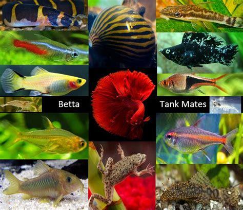 betta fish tank mates  complete guide