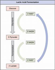 4 4 Fermentation  U2013 Concepts Of Biology  U2013 1st Canadian Edition