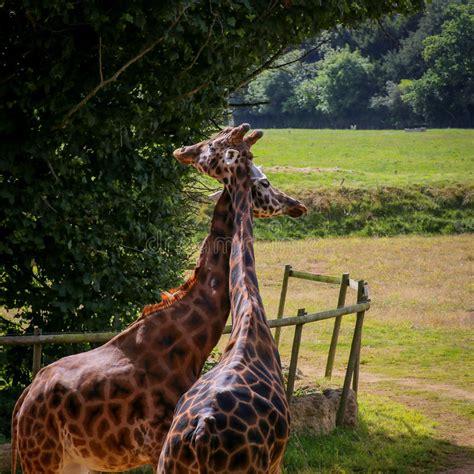 giraffe pair stock image image  clouds nursing