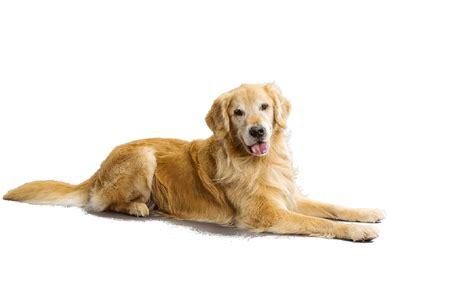 Golden Retriever Puppies For Adoption Dog Bazar