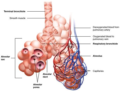 organs  structures   respiratory system voer
