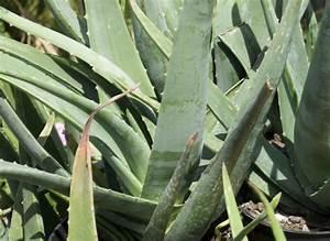 Arrosage Aloe Vera : comment cultiver l 39 aloe vera plantation r colte arrosage ~ Nature-et-papiers.com Idées de Décoration