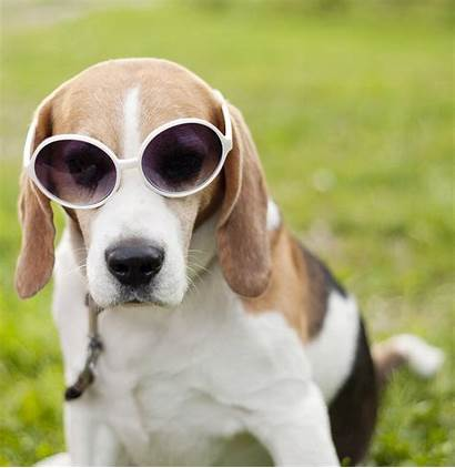 Dog Funny Beagle Sunglasses Wearing Relaxing Park