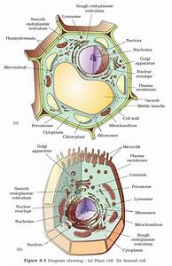 Plant Cell Diagram For Class 9