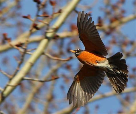 Here are only the best bird desktop wallpapers. Flight of a Robin | Birds in flight, Robin photos, Photo