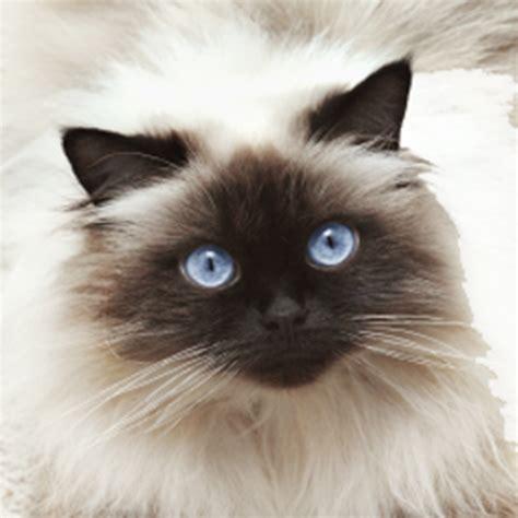 jual kucing hutan blacan murah hewan indonesia dan