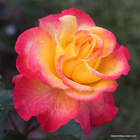 flaming star hitzefest verwendung kordes rosen