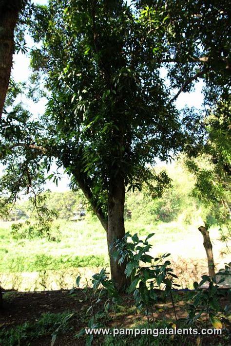 duhat tree