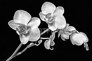 Bilder Schwarz Weiß Gemalt : orchidee schwarz wei zeichnung als poster und kunstdruck von darlya bestellen artflakes com ~ Eleganceandgraceweddings.com Haus und Dekorationen