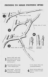 Diagram Apple Pruning Diagram Full Version Hd Quality Pruning Diagram Givediagram Argiso It