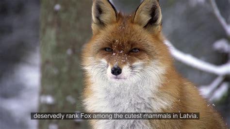 Latvijas savvaļas dzīvnieki: lapsas - YouTube
