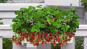 Faire Pousser Des Fraises : 12 plantes et l gumes cultiver sur son balcon ~ Melissatoandfro.com Idées de Décoration
