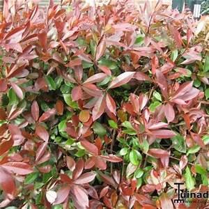 Photinia Fraseri Robusta Compacta : cultivars de photinia x fraseri 39 red robin 39 ~ Buech-reservation.com Haus und Dekorationen