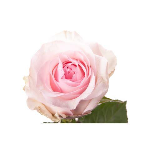 light pink roses light pink nena pink roses flower muse