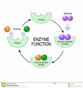 Enzyme Stock Illustrations  U2013 995 Enzyme Stock