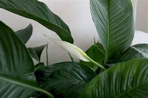 Hortensien Blätter Werden Braun Frost : einblatt spathiphyllum bekommt braune bl tter das hilft ~ Lizthompson.info Haus und Dekorationen