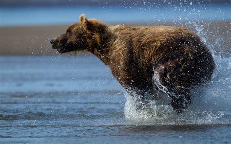 splash original animal predator wildlife rivers drops splash spray