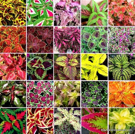 coleus cultivars the beauty of summer in the garden with mariani landscape