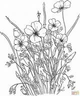 Coloring Poppy Pages Flower Xxx Printable Comments sketch template
