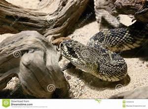 Eastern Diamondback Rattlesnake Head