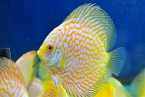 Beautiful Selection Of Discus Fish Now Available ...
