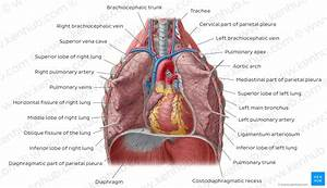 Diagram    Pictures  Lungs In Situ  Anatomy