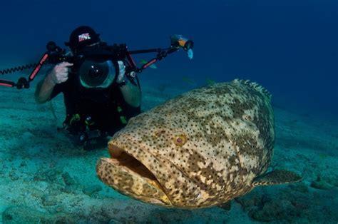 grouper goliath atlantic endangered eat dangerous pouted does